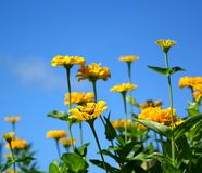 Bright Yellow Marigold Flowers Royalty Free Stock Photography