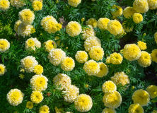 Bright yellow marigolds Royalty Free Stock Images