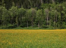 Bright yellow meadow full of wildflowers and forest Royalty Free Stock Images