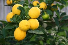 Bright Yellow Meyer Lemons. A bunch of bright yellow Meyer Lemons on the tree Stock Images