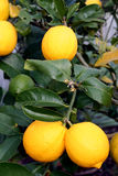Bright Yellow Meyer Lemons. A bunch of bright yellow New Zealand Meyer Lemons on a lemon tree Royalty Free Stock Photography