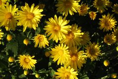 Bright Yellow Mums Blooming in Sunshine and Shade royalty free stock image