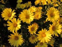 Bright Yellow Mums Dark Background Stock Photos