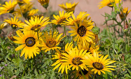 Bright yellow Namaqualand daisies in green shrubbery Royalty Free Stock Images