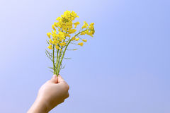 Bright yellow napus flowers in their hands. Bright yellow Brassica napus flowers in their hands,blue sky Royalty Free Stock Images