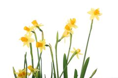 Bright yellow narcissus Royalty Free Stock Photo