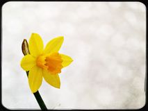 Bright yellow Narcissus. First spring flower Stock Photos