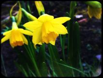 Bright yellow Narcissus. First spring flowers Stock Images