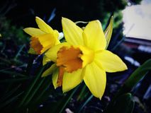 Bright yellow Narcissus. First spring flowers Stock Photography