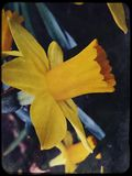 Bright yellow Narcissus. First spring flowers Royalty Free Stock Image