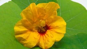Bright yellow nasturtium flower on green leaf. Bright yellow nasturtium flower sat on a nasturtium leaf Stock Photos