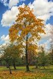 Bright yellow oak on blue sky. Stock Photos
