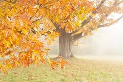 Bright yellow oak in a foggy haze Stock Photography