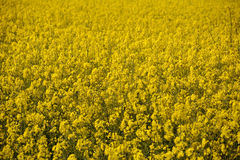 Bright yellow oilseed rape flowers Royalty Free Stock Images