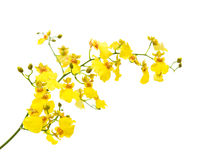 Bright yellow Oncidium Stock Photos