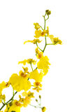 Bright yellow Oncidium orchid Stock Photos