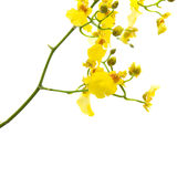 Bright yellow Oncidium orchid Stock Image