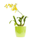 Bright yellow Oncidium orchid;. Whole flowering plant in light green ceramic pot, isolated on white background stock photo