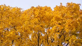 Bright yellow and orange autumn maple leaves on trees against the sky. Horizontal colorful photo for background, banner. Stock. Bright yellow and orange autumn stock image