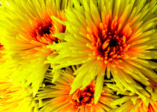 Bright yellow and orange chrysanthemums Stock Photography