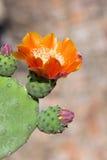 Bright yellow and orange flower of cactus Stock Photos