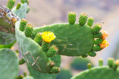 Bright yellow and orange flower of Prickly Pear Royalty Free Stock Images