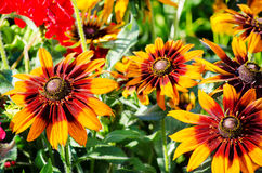 Bright yellow and orange flowers Royalty Free Stock Photos