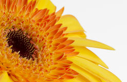 Bright yellow and orange gerbera Stock Image