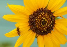 Bright yellow orange sunflower with a bee on peddle. Close-up of a bright yellow and orange sunflower with a bee on peddle to harvest some juice Royalty Free Stock Image