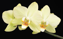 Bright yellow orchid Royalty Free Stock Image