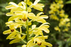Bright yellow orchid Stock Images