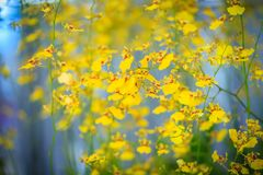 Bright yellow orchid of Oncidium goldiana flower, also known as Royalty Free Stock Photo