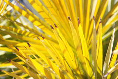 Bright yellow palm leaves Stock Photography