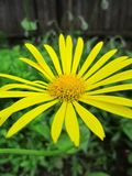 Bright yellow petals royalty free stock photography