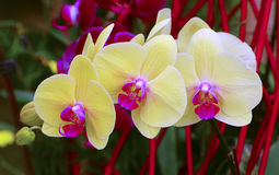 Bright yellow phalaenopsis orchids Stock Photo