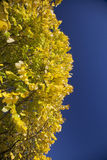 Bright yellow poplar leaves against blue sky Stock Image