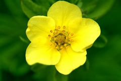 Bright yellow Potentilla flower Stock Images