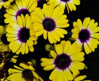 Bright Yellow And Purple African Daisies Against A Black Background royalty free stock photos