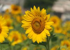 Bright Yellow Radiant Sunflower Stock Image