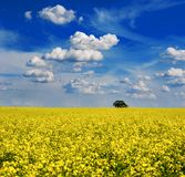 Bright yellow rapeseed canola field ready for harvest. Tree in field with dramtic sky Stock Photos