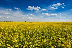 Bright yellow rapeseed field with beautiful cloudly sky. Bright yellow rapeseed canola field with beautiful cloudly sky royalty free stock image