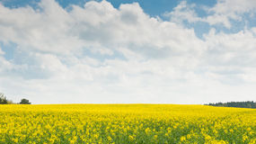 Bright yellow rapeseed field in spring day Royalty Free Stock Photography