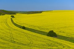 Bright yellow rapeseed fields and a dirt road. Top view into the distance. stock images