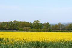 Bright yellow rapeseed in Kent, England stock photography