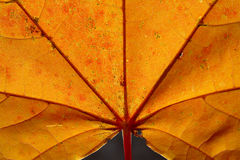 Bright yellow-red autumn leaf Stock Photography