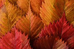 Bright yellow and red autumn leaves beautiful Royalty Free Stock Photos