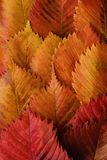 Bright yellow and red autumn leaves beautiful Stock Image