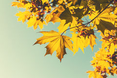 Bright yellow red autumn maple leaves, retro Royalty Free Stock Photo