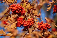 Yellow and red autumn rowanberry tree with ripe berries. Bright yellow and red autumn rowanberry tree with ripe berries Stock Photos