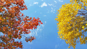 Bright yellow and red branches of autumn tree on blue sky Royalty Free Stock Image